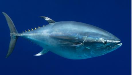 رکورد گرانترین ماهی دنیا شکسته شد