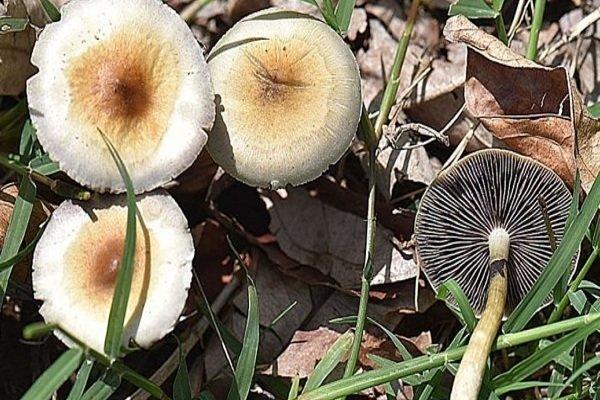 خطر قارچهای سمی در کمین مسافران و مردم محلی