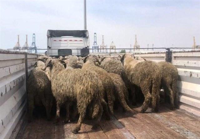 ماجرای گوسفندهای دُمدار وارداتی چه بود؟