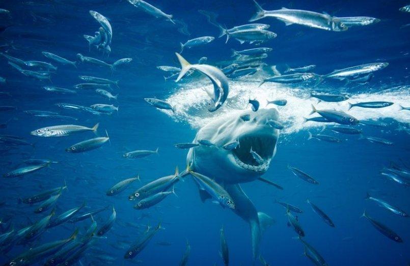 عکس | لحظه دلهرهآور حمله کوسه به ماهیها در عکس روز نشنال جئوگرافیک