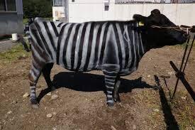 گاوهایی که گورخر شدند تا نیش زده نشوند!