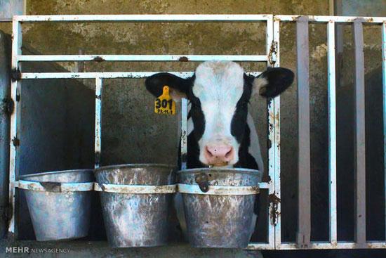 گاوها در چه صورتی استرس میگیرند؟