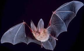 ادامه خوردن خفاش در اندونزی با وجود ادامه شیوع بیماری کرونا