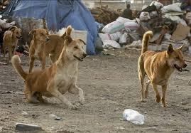 سگهای ولگرد پسر ۸ساله را در یزد خوردند!