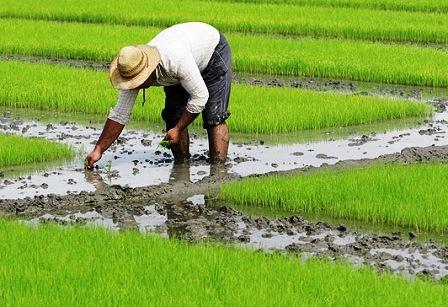 کولاک دلپذیر برنج و گندم