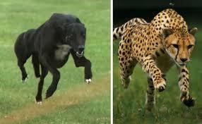 مقایسه سرعت سگ تازی با چیتا
