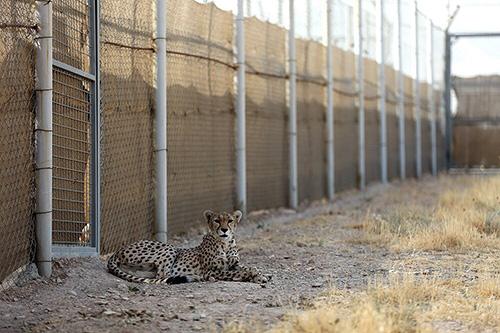 یوزپلنگربایی مخفیانه از طبیعت شاهرود