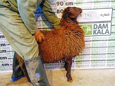 چرا خرید گوسفند زنده بهصرفه نیست؟