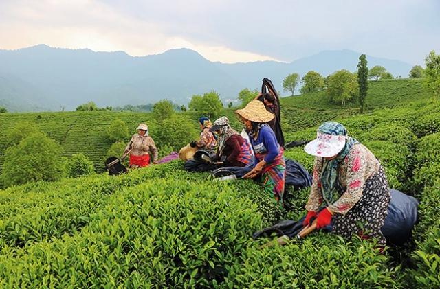 حکایت ۱۲۴ سال چای؛ از احمد تا شهرزاد