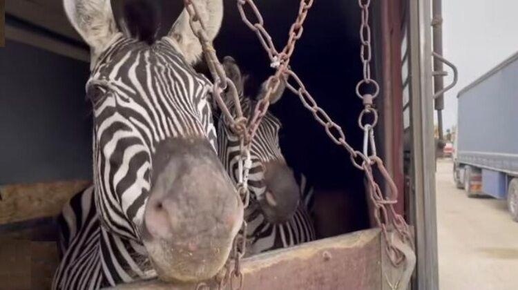 برخورد قانونی با مقصران مرگ گورخر آفریقایی