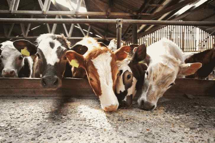 خرج خورد و خوراک یک روز گاو و گوسفند چقدر میشود؟