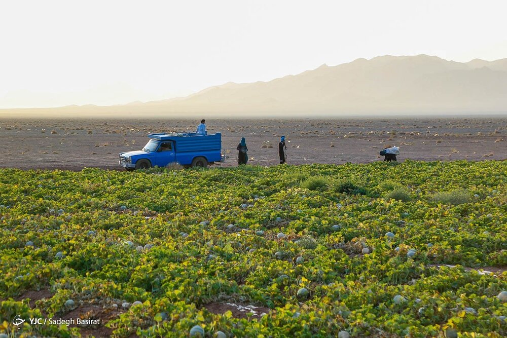 گزارش تصویری | فصل برداشت محصول از مزرعه طالبی