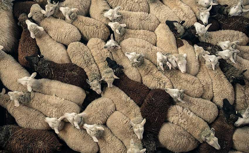 حمله مسلحانه برای سرقت ۴۰۰ راس گوسفند